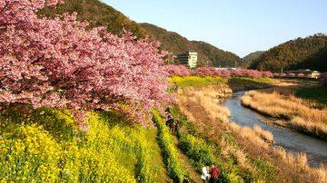春伊豆 南と河津でさくら祭りスタート 2月10日~3月10日